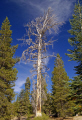 yosemite national park dead redwood near taft point trees wooden natural history nature misc. california sierra nevadas mountains alpine np sequoia sempervirens sequoioideae californian usa united states america american