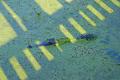 alligator brazos bend state park texas. reptiles reptilia reptilian animals animalia natural history nature misc. tx reptile swamp lake bayou texas usa united states america american