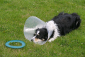 frustrated border collie dogs canidae canine animals animalia natural history nature lampshade collar dog frisbee flying ring humour humor staffordshire staffs england english angleterre inghilterra inglaterra united kingdom british