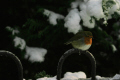 winter robin birds aves animals animalia natural history nature glasgow central scotland scottish scotch scots escocia schottland united kingdom british