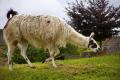 llama kept farm bakewell derbyshire animals animalia natural history nature captive field open peak district england english angleterre inghilterra inglaterra united kingdom british