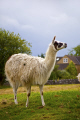 llama kept farm bakewell derbyshire animals animalia natural history nature captive field open peak district england english angleterre inghilterra inglaterra united kingdom british