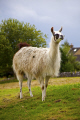 llama kept farm bakewell derbyshire animals animalia natural history nature field open captive peak district england english angleterre inghilterra inglaterra united kingdom british