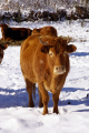 limousin cattle snow farmyard animals animalia natural history nature corrèze correze forest france french frozen monedieres monédières winter cow la francia frankreich