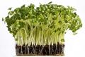 cress food nourishment nutrients abstracts salad fresh growing united kingdom british
