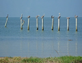 pelicans resting old wooden piles galvaston. texas birds aves animals animalia natural history nature pelecanidae houston mexican gulf sea bird ornithology ornithological united states american
