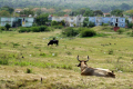 bulls fields holguin cuba animals animalia natural history nature farming farmers cow bull wasteland derelict caribbean cuban