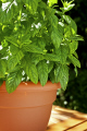 close mint plant food nourishment nutrients abstracts herb pot planted growing fresh cooking green garden united kingdom british