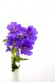 flowers plants plantae natural history nature blue garden vase white background united kingdom british
