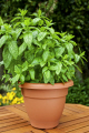 potted mint plant plants plantae natural history nature herb pot garden horticulture growing food uk united kingdom british