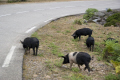 corsica wild pigs roadside animals animalia natural history nature couchon sauvage bacon pork corse france la francia frankreich french