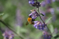 macro photograph bee extracting pollen blue flower. proboscis fully extended. head insects arthropod insecta animals animalia natural history nature pollenation glasgow central scotland scottish scotch scots escocia schottland united kingdom british