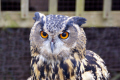 long-eared long eared longeared owl asio otus birds aves animals animalia natural history nature ornithology bird strigiformes strigidae animal flying raptor predator gloucestershire england english angleterre inghilterra inglaterra united kingdom british