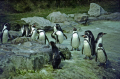 magellanic penguins chester zoo uk birds aves animals animalia natural history nature spheniscus magellanicus sphenisciformes spheniscidae bird amphibious antarctic ornithology cestrian cheshire england english angleterre inghilterra inglaterra united kingdom british