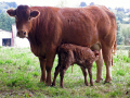 limousin cow newly born calf. farmyard animals animalia natural history nature corrèze correze france french monedieres monédières mother udder suckling la francia frankreich