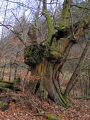 ageing oak tree trees wooden natural history nature corrèze correze arborial bois forest france french monedieres monédières winter valley limousin la francia frankreich