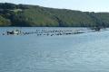 oyster farm river fal marine life seafood falmouth cornwall cornish england english angleterre inghilterra inglaterra united kingdom british