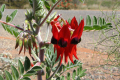 desert rose emblem australia northern territory flowers plants plantae natural history nature flower australian