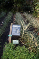 eden project pineapples ananas comosus tourist attractions england english botanical garden bodelva cornwall pl242sg cornish angleterre inghilterra inglaterra united kingdom british