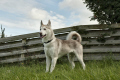 siberian husky dog fence dogs canidae canine animals animalia natural history nature standing isle man manx england english angleterre inghilterra inglaterra united kingdom british
