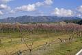 tarragona region spain almond trees near village miravet catalunya catalonia spanish espana european espagne espa mediaeval fortified costa brava spanien la spagna