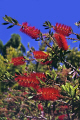 red bottlebrush flowers plants plantae natural history nature tree bloom blossom callistemon myrtaceae myrtales san francisco california californian united states american