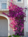 languedoc france bougainvillea house bouzigues flowers plants plantae natural history nature french herault bassin thau etang mediterranean cerise purple flower bloom floral roussillon la francia frankreich
