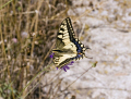 old world swallowtail papilio machaon insects arthropod insecta animals animalia natural history nature butterfly papilionidae insect costa brava catalonia spain spanien espa espagne la spagna spanish