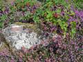 study heather brambles granite plants plantae natural history nature blackberries wild fruit correze limousin france la francia frankreich french