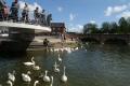 swans river avon stratford warwickshire midlands england english angleterre inghilterra inglaterra united kingdom british
