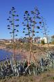 american aloe agave americana growing wild coast near estepona spain plants plantae natural history nature spanish espagna andalusia laga malaga plant botany flora angiosperms century costa del sol spanien espa espagne la spagna