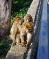 gibraltar barbary macaque mother child monkeys primates animals animalia natural history nature spain spanish espagna andalusia costa del sol uk united kingdom britain british pillars hercules heracles rock mediterranean ape monkey primate macacas sylvanus upper gibraltarian