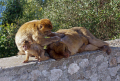 gibraltar barbary macaque family group monkeys primates animals animalia natural history nature spain spanish espagna andalusia costa del sol uk united kingdom britain british pillars hercules heracles rock mediterranean ape monkey primate macacas sylvanus upper gibraltarian