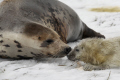 close shot wild grey seal snow sniffing face newly born pup taken donna nook nature reserve north somercotes lincolnshire seals flippers marine life young baby wildlife winter birth coast coastal uk england cold lincs english angleterre inghilterra inglaterra united kingdom british