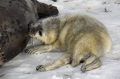 close shot wild grey seal snow suckling newly born pup taken donna nook nature reserve north somercotes lincolnshire seals flippers marine life young baby wildlife winter birth coast coastal uk england cold feed milk feeding lincs english angleterre inghilterra inglaterra united kingdom british