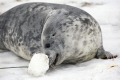 young wild grey seal lying snow using snout push snowball taken donna nook nature reserve north somercotes lincolnshire seals flippers marine life wildlife winter fun youngster amusement extraordinary mammal coast coastal uk england cold play game nose lincs english angleterre inghilterra inglaterra united kingdom british