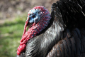portrait black turkey showing view farmyard animals animalia natural history nature poultry farm animal bird livestock breed