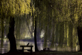 early morning view lake colchester castle park weeping willows bench bird silhouetted yellow uk parks gardens environmental water trees nature natural seating ducks birds essex england english angleterre inghilterra inglaterra united kingdom british