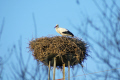 andalucia spain white stork ciconia nest electricty pylon birds aves animals animalia natural history nature spanish espagna andalusia estepona laga malaga costa del sol mediterranean ornithology wading bird spanien espa espagne la spagna