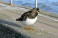 bird quayside harwich birds aves animals animalia natural history nature essex england english angleterre inghilterra inglaterra united kingdom british