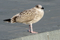 seagull conwy birds aves animals animalia natural history nature north wales welsh pa gales united kingdom british