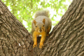yellow fox squirrel stockyards area fort worth squirrels rodents sciurus sciuridae animals animalia natural history nature texas united states american