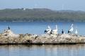 storks wilson inlet near town denmark western australia birds aves animals animalia natural history nature bay australian