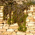 stone wall trailing plant walls abstracts misc. cyprus europe european cypriot