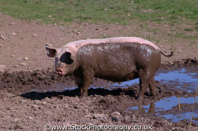 pig mud animals animalia natural history nature misc. dirty highlands islands scotland scottish scotch scots escocia schottland united kingdom british
