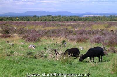 culloden moor black sheep goats grazing moorland countryside rural environmental uk battles redcoats jacobites moray morayshire scotland scottish scotch scots escocia schottland united kingdom british
