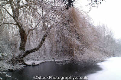 frozen pond weeping willow winter seasons seasonal environmental uk weather kingston london cockney england english angleterre inghilterra inglaterra united kingdom british