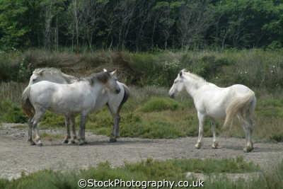 camargue white horses wild provence cote azur riviera mediterranean south french european travel equine france la francia frankreich europe