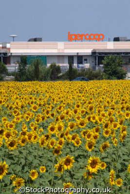 sunflowers italian hypermarket tuscany toscana european travel italy italien italia italie europe
