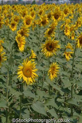 sunflowers tuscany toscana italian european travel italy italien italia italie europe